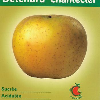 Pommes Belchard chanteclair