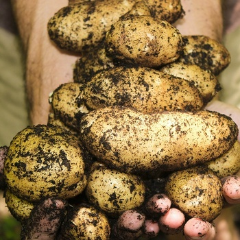 Pommes de terre Charlène