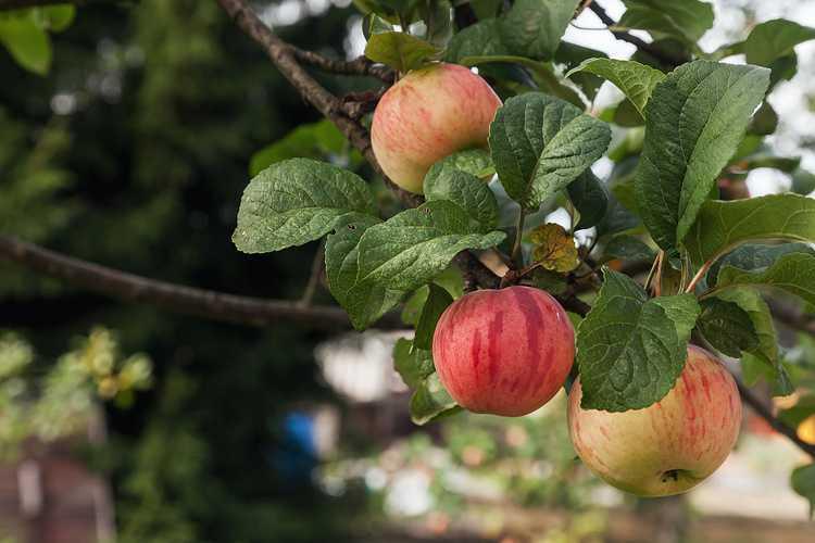Pommes Golden 0
