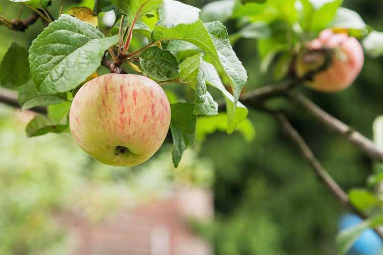 Pommes Fudji 0