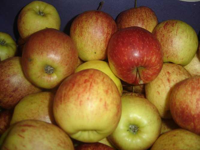 Pommes Elsar elstar