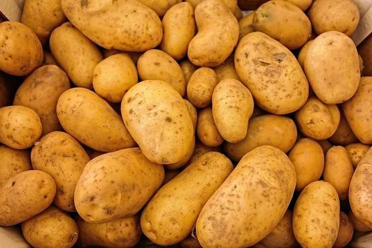 Pommes de terre Bintje 0