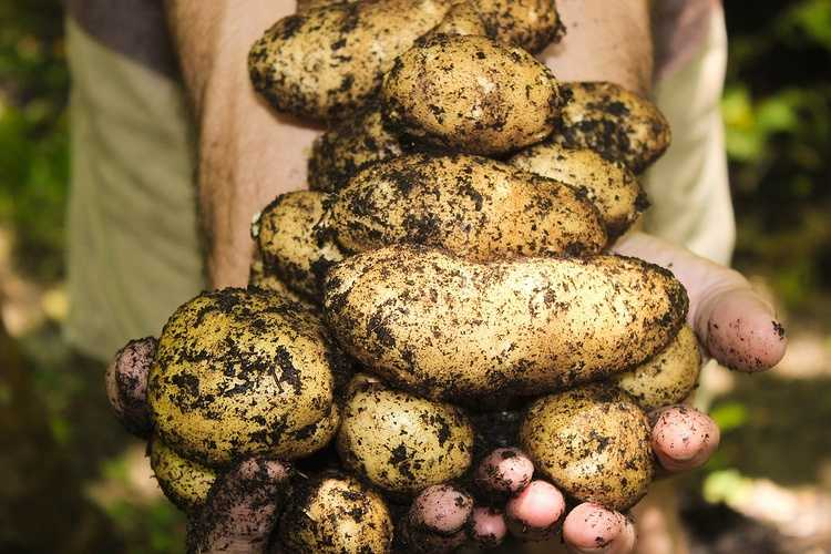 Pommes de terre Charlène 0